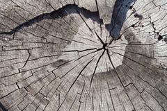 Sezione trasversale di vecchio tronco di albero che mostra gli anelli di crescita Fotografia Stock