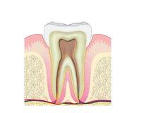 Sezione trasversale tramite il dente Immagine Stock