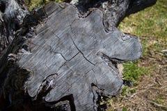 Sezione trasversale - tronco di albero Fotografia Stock