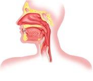 Sezione trasversale umana dell'apparato respiratorio, divisorio capo. Fotografie Stock