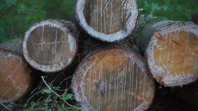 Sezioni dei ceppi del pino archivi video