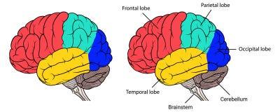 Sezioni della vista laterale di anatomia del cervello umano piana Illustrazione Vettoriale