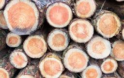 Sezioni trasversali dei tronchi del pino Fotografie Stock Libere da Diritti