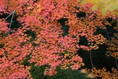Sezon jesienny w Japan przy Rurikoin Zdjęcia Royalty Free