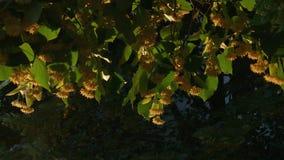 Sezon kwitnie wapno - zakończenie up zdjęcie wideo