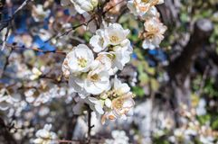 Sezonowa wiosna kwitnie drzewa tło fartuch obrazy royalty free