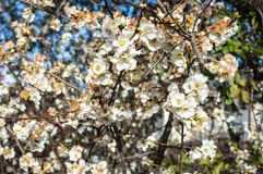 Sezonowa wiosna kwitnie drzewa tło fartuch zdjęcia stock
