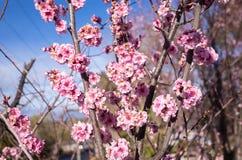 Sezonowa wiosna kwitnie drzewa tło Kwiecień, wiśnia obrazy royalty free