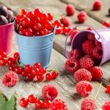 Sezonowe dojrzałe jagody Zbiera Czerwonych rodzynki i iść, malinki Zdjęcie Royalty Free