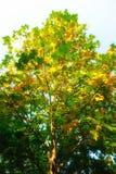 Sezonowy drzewo Fotografia Stock