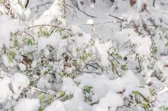 Sezonowy lasowy krzak z zieleń liśćmi zakrywającymi z śniegiem obrazy royalty free
