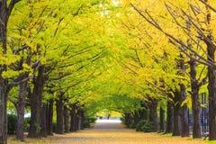Sezonu jesiennego ginkgo liście w jesieni, Japonia Zdjęcia Stock