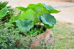 Sezonu lata natury lotosu liść Obraz Royalty Free