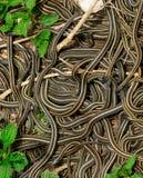 Sfera accoppiamento dei serpenti di giarrettiera fotografia stock