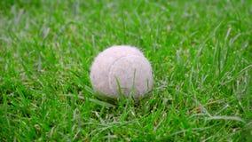Sfera di tennis su erba verde Primo piano del giocattolo del cane su prato inglese verde Pallina da tennis bianca video d archivio