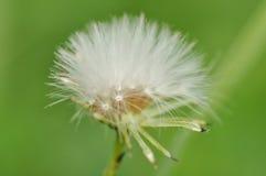 Sfera lanuginosa del seme del dente di leone Fotografie Stock Libere da Diritti
