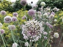Sferische purpere bloesems van bloeiend knoflook in de tuin stock afbeelding