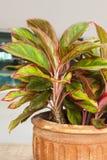 Sfiato di caladium bicolor Fotografie Stock