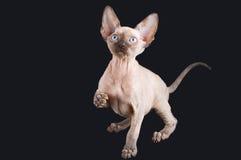 Sfinge allegra sveglia del gattino fotografia stock
