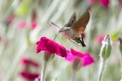 Sfinge Colibri στο ρόδινο λουλούδι Στοκ φωτογραφίες με δικαίωμα ελεύθερης χρήσης
