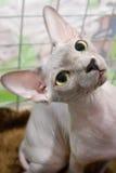 Sfinge del gatto Immagini Stock Libere da Diritti