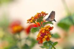 Sfingidae Royalty Free Stock Image