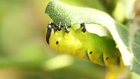 Sfinks Afrykańscy śmiertelni łasowanie liście roślina aubergines zdjęcie wideo