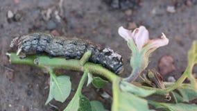 Sfinks Afrykańska śmierć na roślinie aubergines zbiory