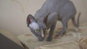 Sfinksa kot bada krawędź kanapa zdjęcie wideo