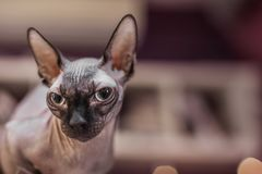 Sfinksa portret na zamazanym tle zdjęcie royalty free