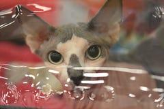 Sfinksa spojrzenie Kot w przejrzystym skrzynki zakończeniu up obraz stock