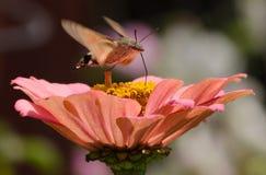 Sfinx Colibri 免版税图库摄影