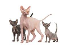 Sfinx, 4 jaar oude en Lykoi-katten die omhoog eruit zien Stock Foto