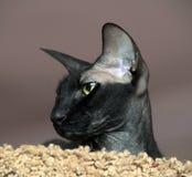 Sfinx med stora öron Fotografering för Bildbyråer