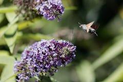 Sfinx van gallium of sfinxstellatarum die van kolibriemacroglossum de nectar van de bloemen van een Buddleia - een Buddleja zuige stock afbeeldingen