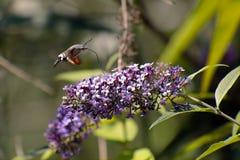 Sfinx van gallium of sfinxstellatarum die van kolibriemacroglossum de nectar van de bloemen van een Buddleia - een Buddleja zuige stock fotografie