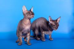 Sfinxkatten på en blå bakgrund Royaltyfria Foton
