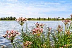Sfondo naturale con i bei fiori sulle banche del fiume Fotografie Stock Libere da Diritti