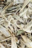 Sfondo naturale cornfield Immagini Stock