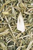 Sfondo naturale cornfield Fotografia Stock