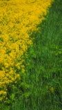 Sfondo naturale dei colori gialli e verdi Canola di fioritura nel parco naturale San Pietroburgo, giugno 2017 Fotografia Stock Libera da Diritti