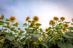 Sfondo naturale del girasole, girasole che fiorisce, olio di girasole Fotografia Stock Libera da Diritti
