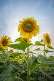 Sfondo naturale del girasole, girasole che fiorisce, olio di girasole Immagini Stock Libere da Diritti
