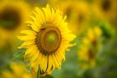 Sfondo naturale del girasole, girasole che fiorisce, olio di girasole Fotografia Stock