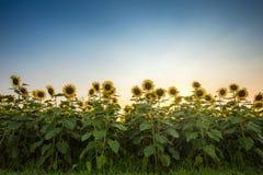 Sfondo naturale del girasole, girasole che fiorisce, olio di girasole Immagine Stock