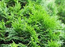 Sfondo naturale del thuja verde Immagini Stock