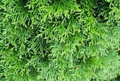 Sfondo naturale del thuja verde Immagine Stock Libera da Diritti
