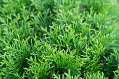 Sfondo naturale del thuja verde Fotografia Stock Libera da Diritti