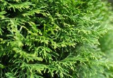 Sfondo naturale del thuja verde Fotografie Stock Libere da Diritti