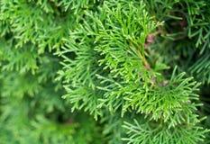 Sfondo naturale del thuja verde Fotografia Stock